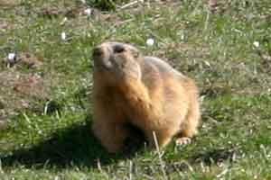 Rencontre avec une marmotte en Oisans