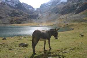 Des mulets au lac de la Muzelle