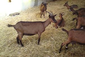 Chèvres de la ferme intercommunale du Murier